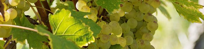 Weißer Burgunder Trauben