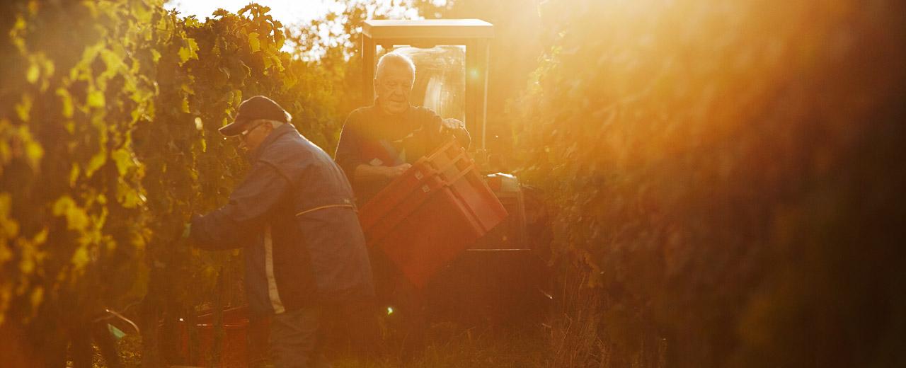 Rebschnitt, Pflege und Weinlese. Der Weinbau in Franken