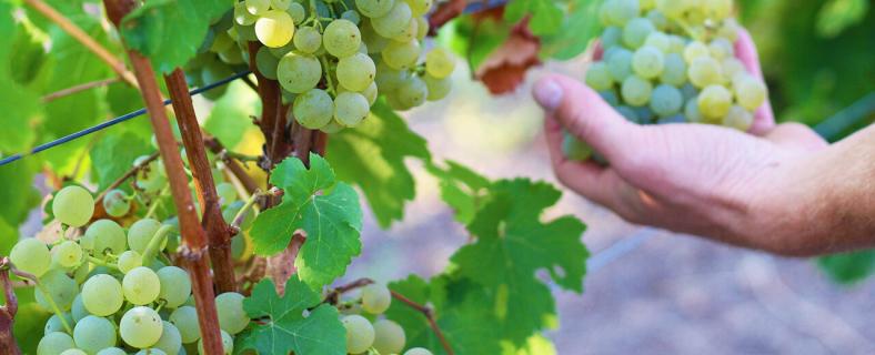 Scheurebe Weinwissen